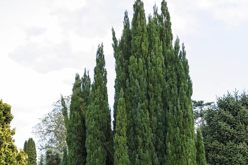 Tall conifer tree