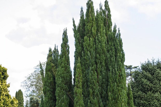 Tall conifer tree
