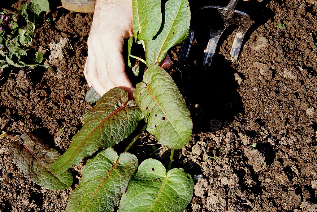 Digging up a dock plant with a fork