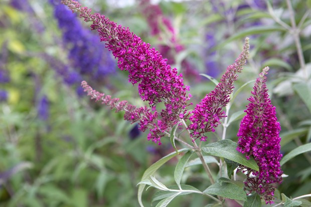 Purple and deep-pink buddleia blooms