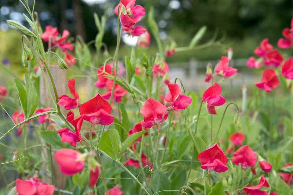 A vivid mass of red sweet peas