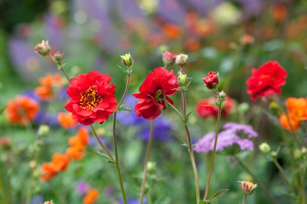 Crimson blooms of Geum 'Mrs J Bradshaw' in a colourful border