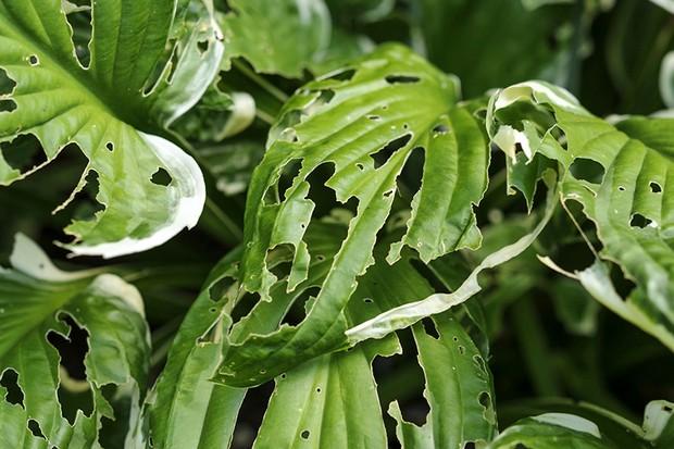 What's eating my hostas – slugs or snails?