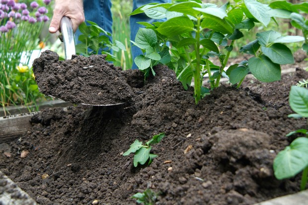 How to earth up potatoes - mounding soil around the stems