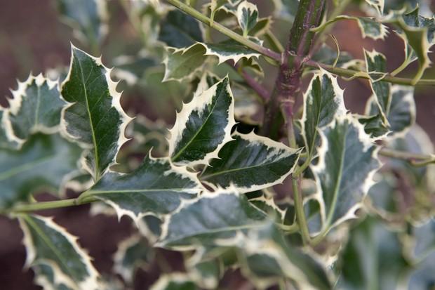ilex-aquifolium-silver-queen-3