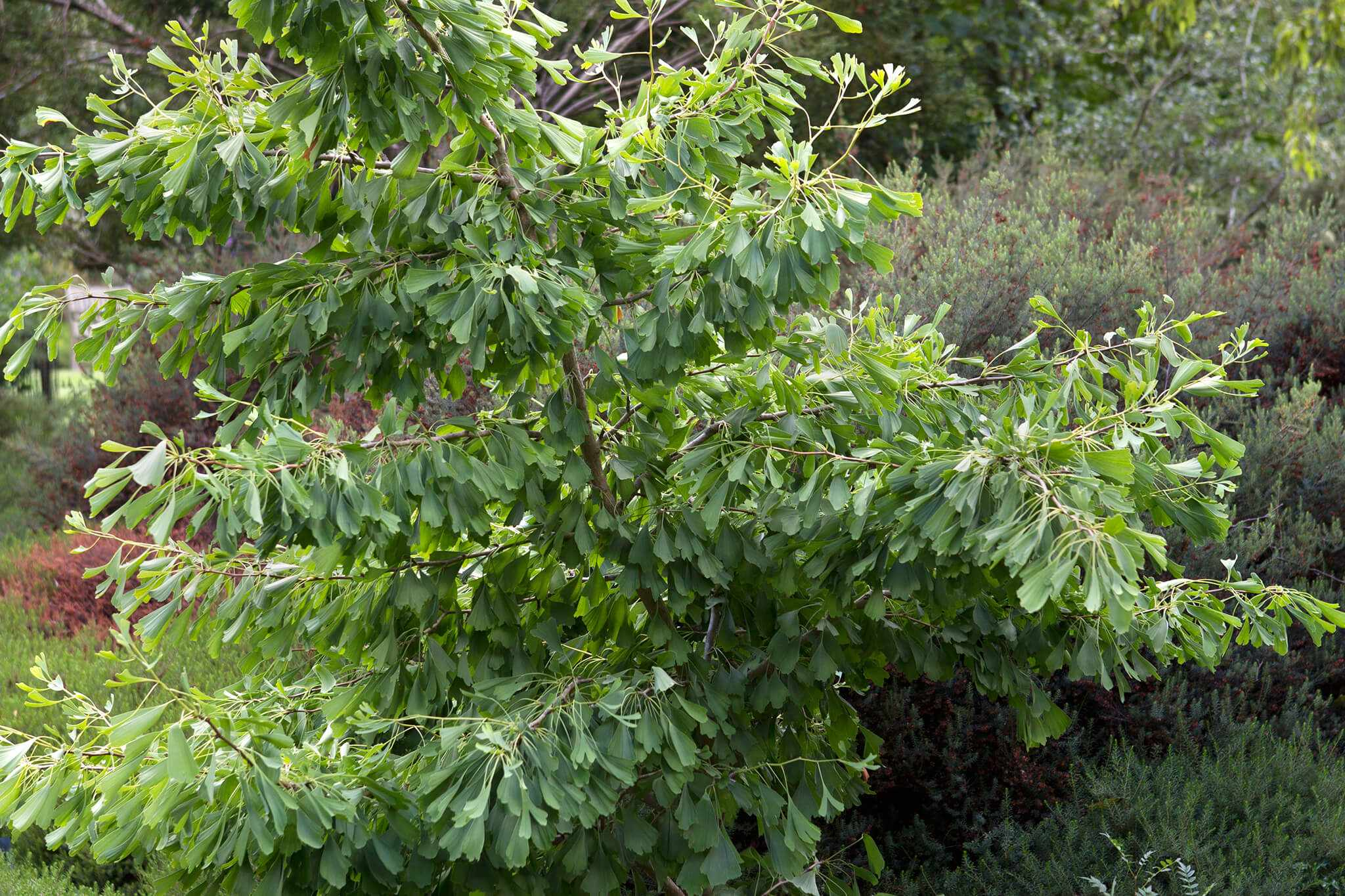 How to plant a ginkgo tree
