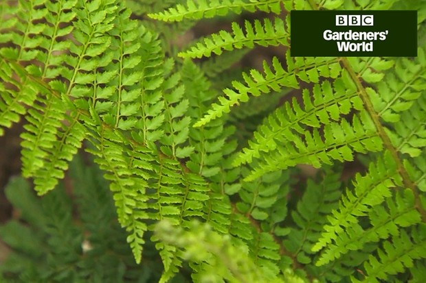 How to plant ferns in dry shade