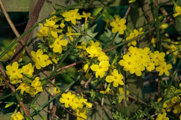 Yellow winter jasmine flowers