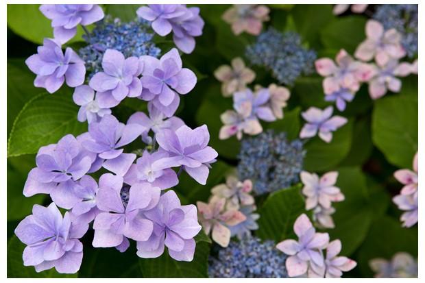 hydrangea-macrophylla-jogasaki-2