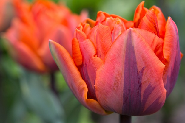orange-tulip-orange-princess-3