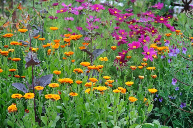 cosmos-and-french-marigold-3