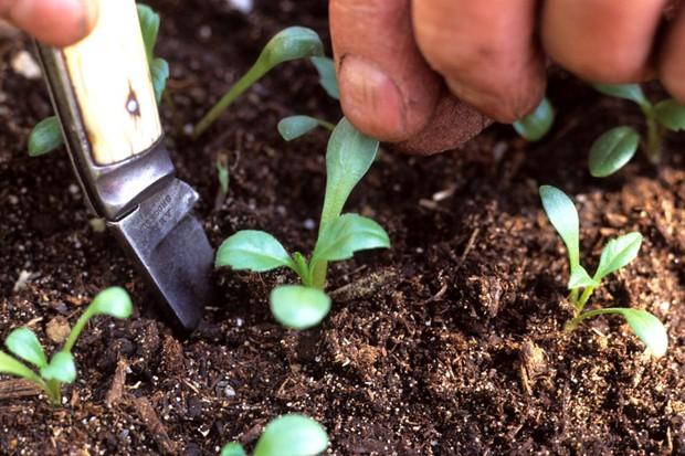 transplanting-dahlia-seedlings-2