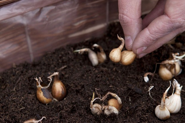 Planting the daffodil bulbs