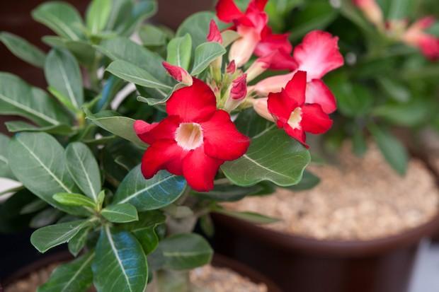 Red desert rose flowers