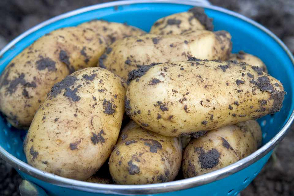 A bowl of freshly harvested maincrop potatoes