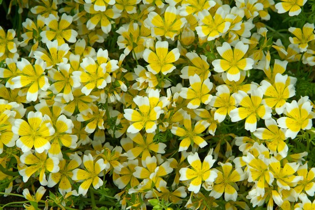Golden and lemon flowers of the poached egg plant