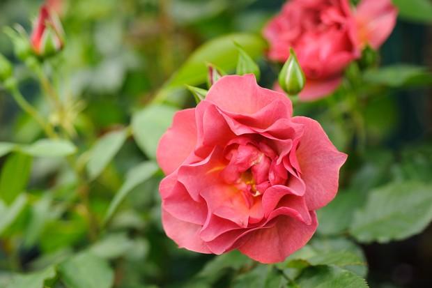 Rose 'Celebration Time' flower