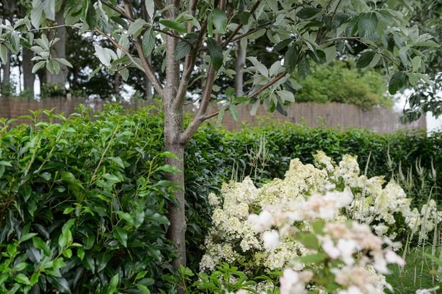 A glossy green Portuguese laurel hedge