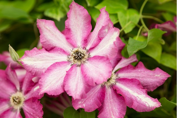 Deep-pink and white flowers of clematis 'Viva Polonia'