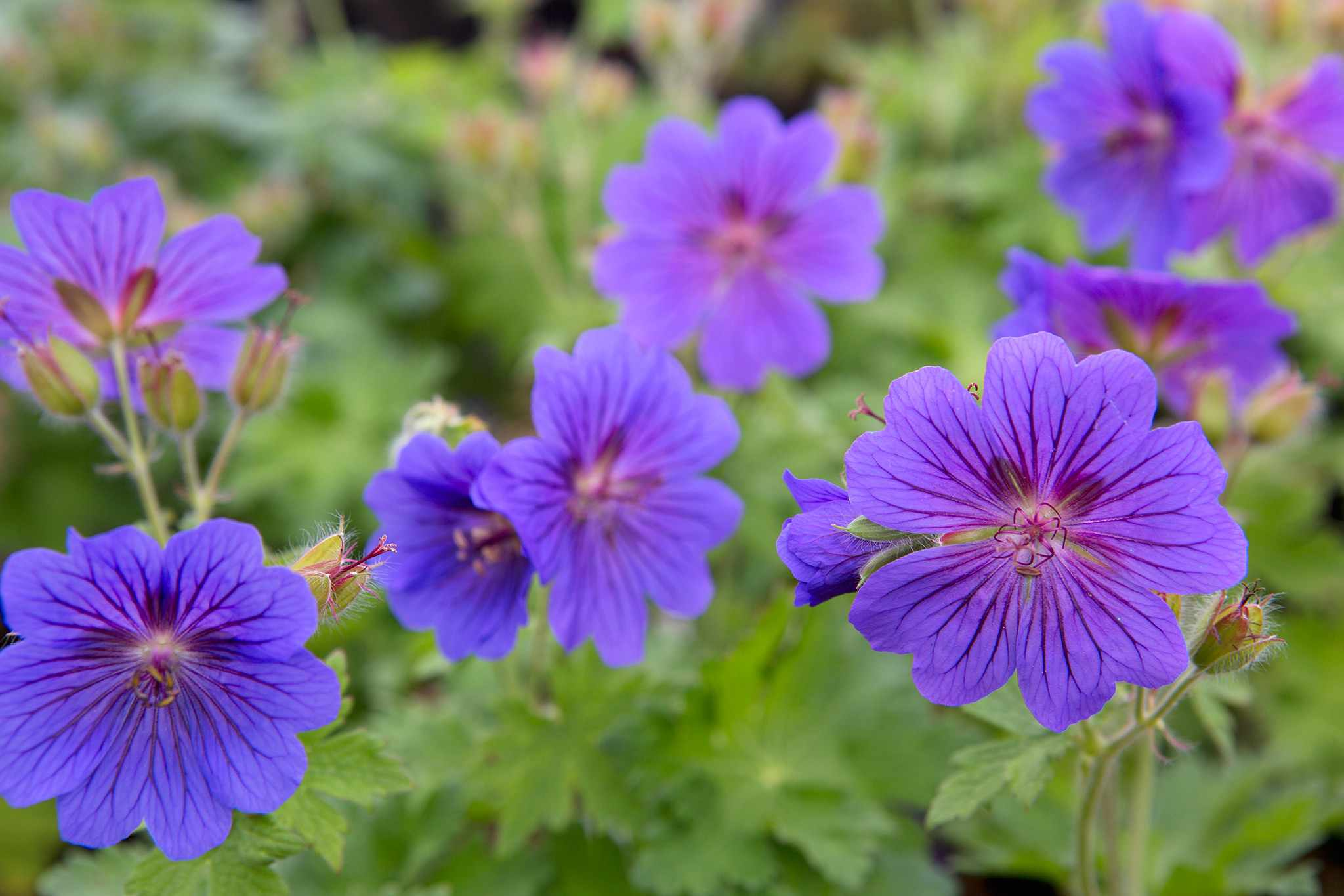 Geranium x magnificum 'Rosemoor'