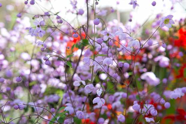 Thalictrum delavayi 'Splendide'