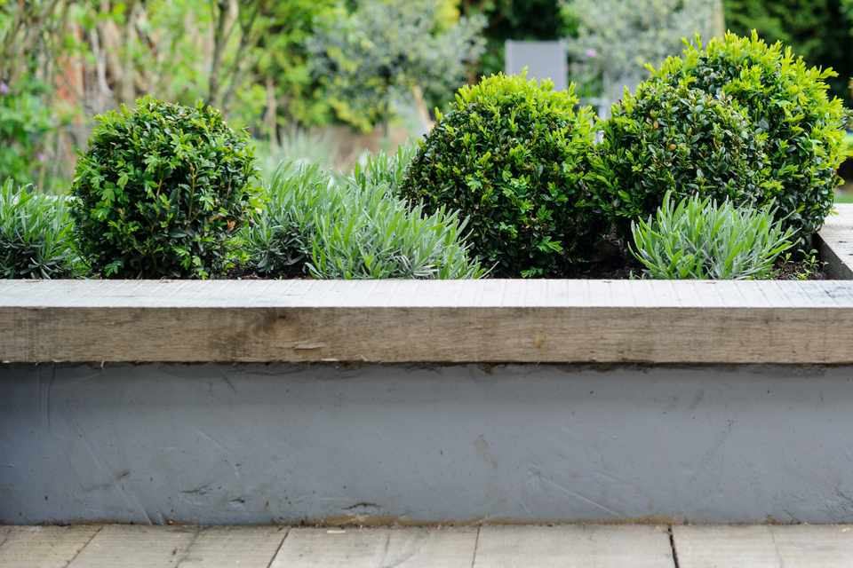 Balls of box interspersed with lavender in a raised bed