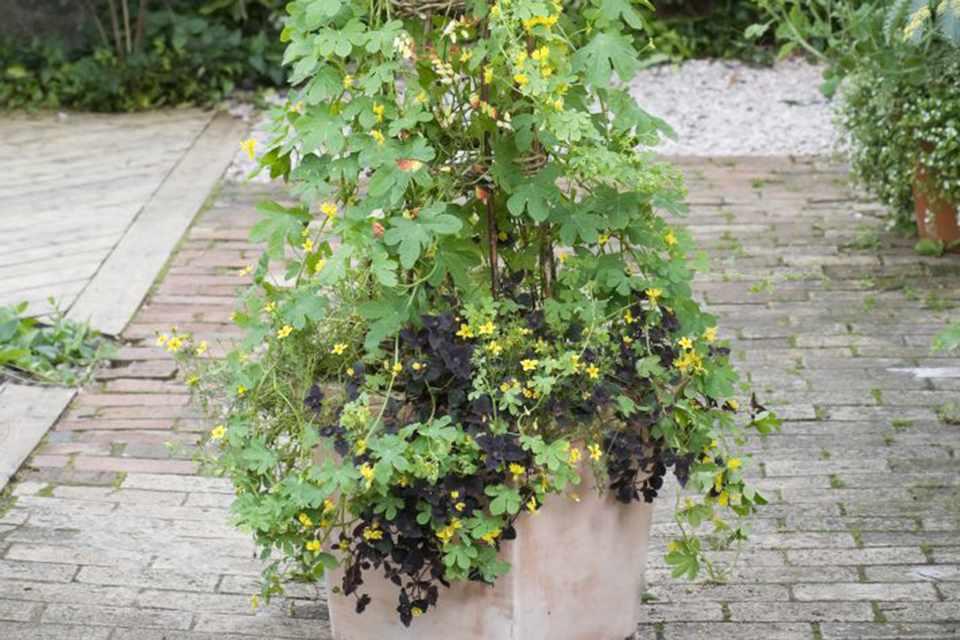 Annual climber pot display