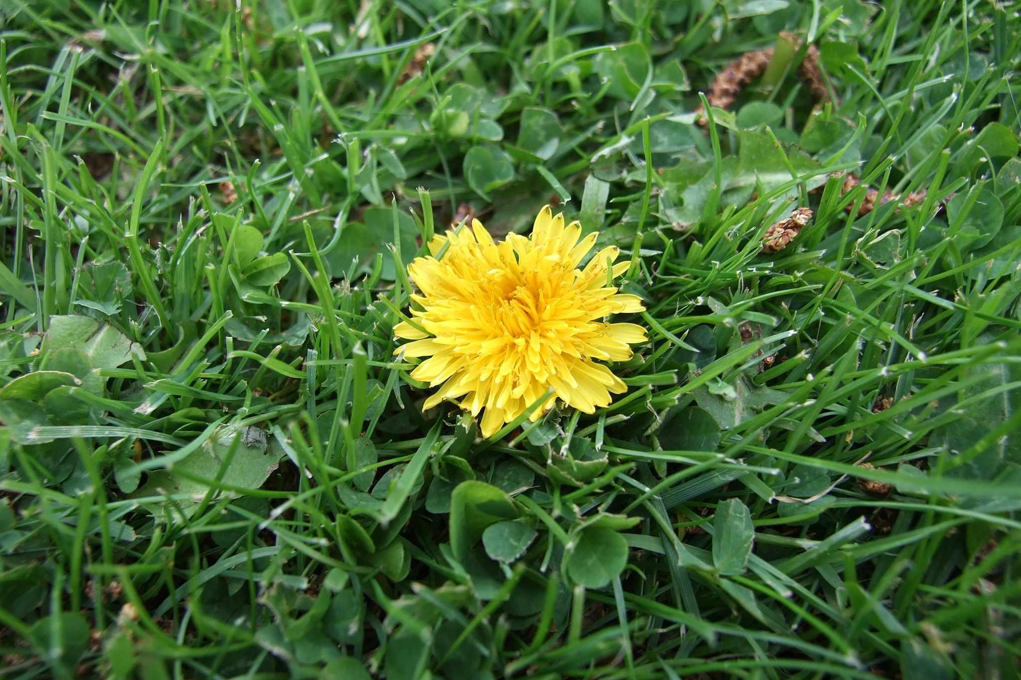 A yellow dandelion flower in a lawn