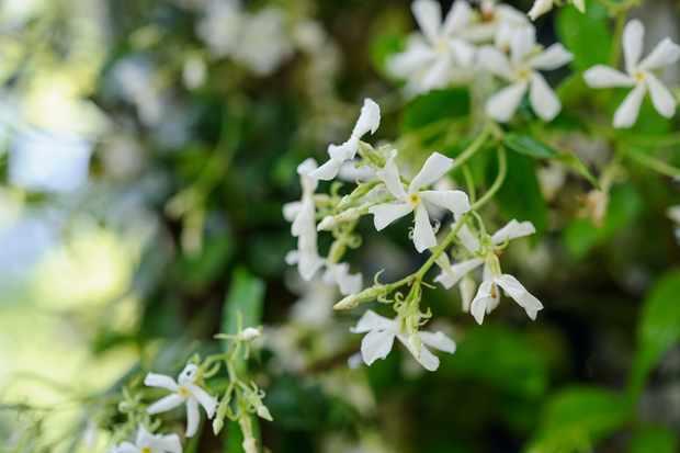 star-jasmine-5