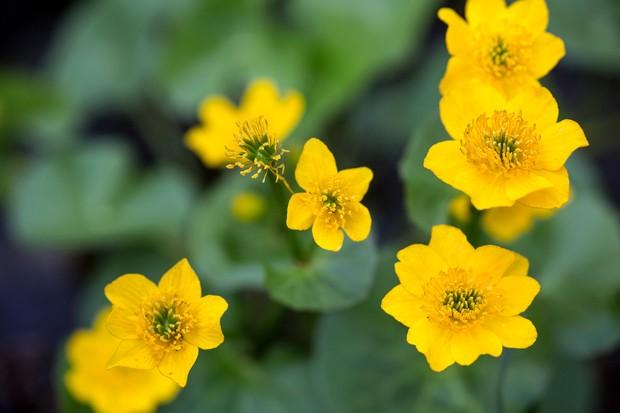 marsh-marigold-caltha-palustris-3