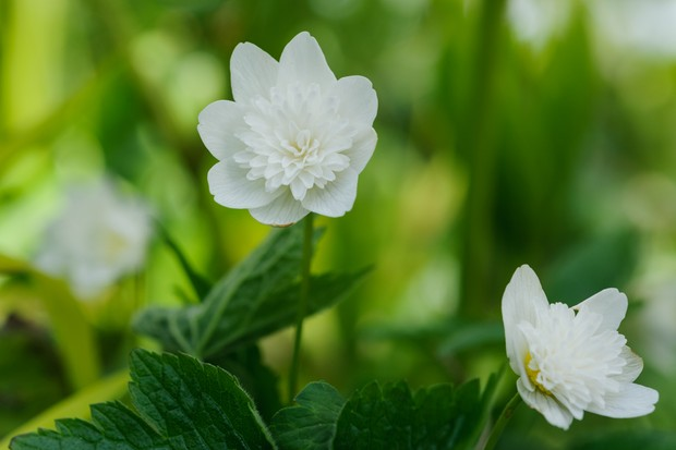 wood-anemone-anemone-nemorosa-2