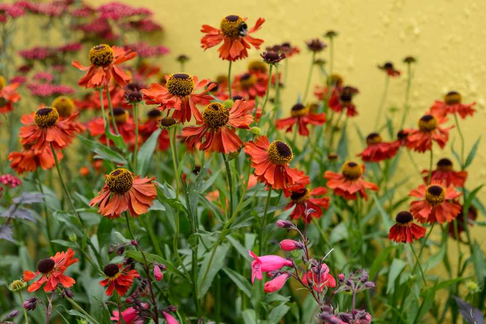 Orange helenium flowers