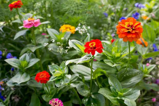 How to sow zinnia seeds outdoors