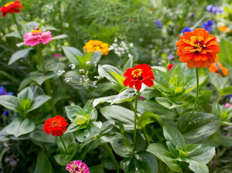 How To Sow Zinnia Seeds Bbc Gardeners World Magazine