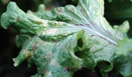 A lettuce leaf spoiled by grey mould, Botrytis cinerea