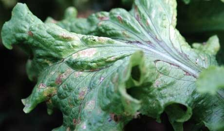 A lettuce leaf spoiled by grey mould, Botrytis cinerea