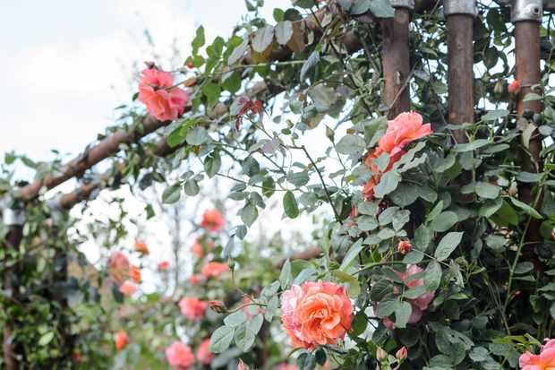 climbing-rose-westerland-2