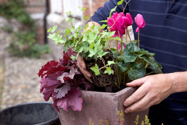 Cyclamen, heather and bulb pot display - adding foliage plants