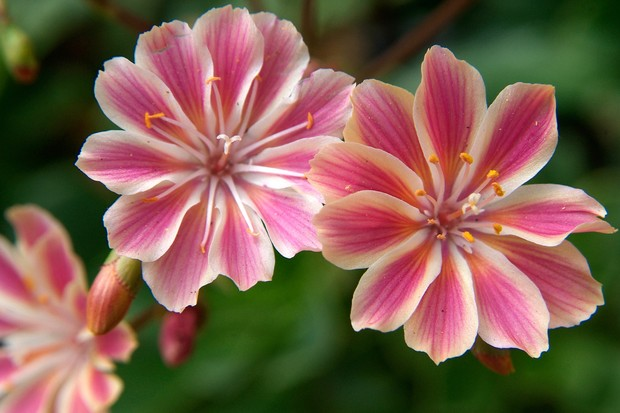 Pink and white lewisia flowers