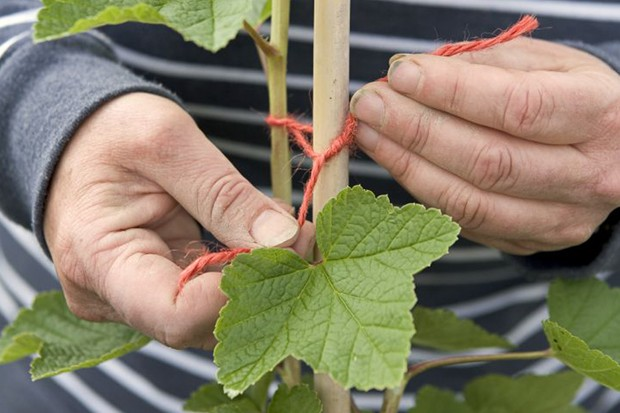 Growing redcurrants - tying in the lead cane
