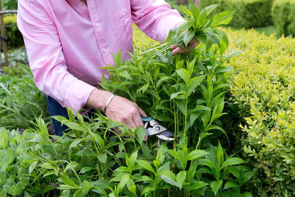 Giving phlox plants the Chelsea chop