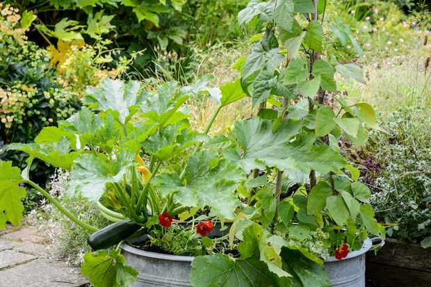 courgettes-and-nasturtiums-in-a-container-2