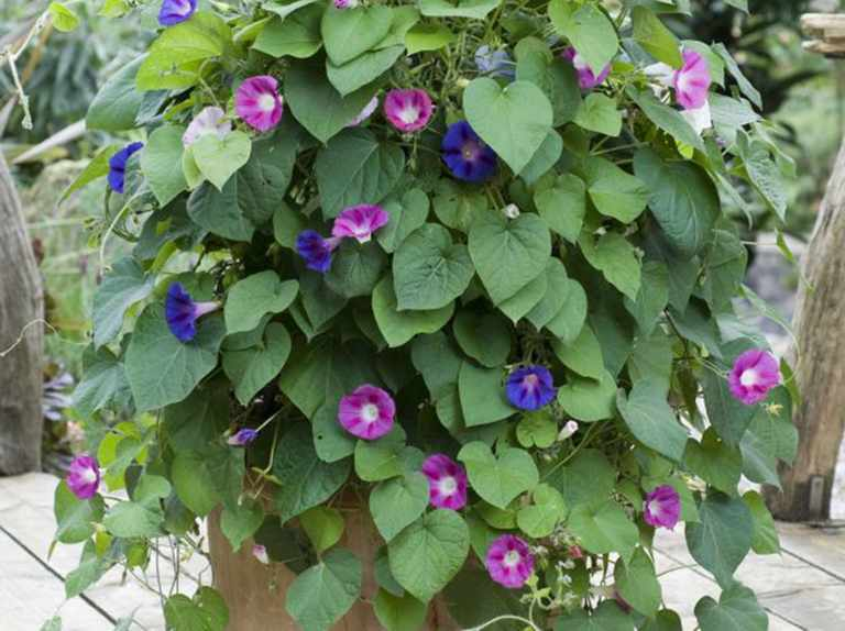 Morning glory pot display