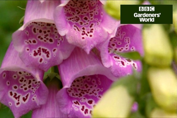 How to plant foxgloves