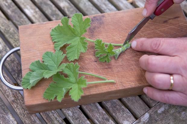 pelargonium-cuttings-2