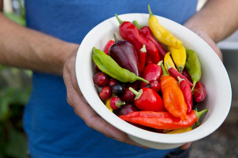 Harvested chillies