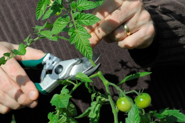 Removing the top part of the tomato plant