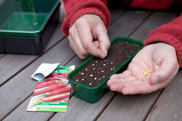 sowing-chilli-seeds-2