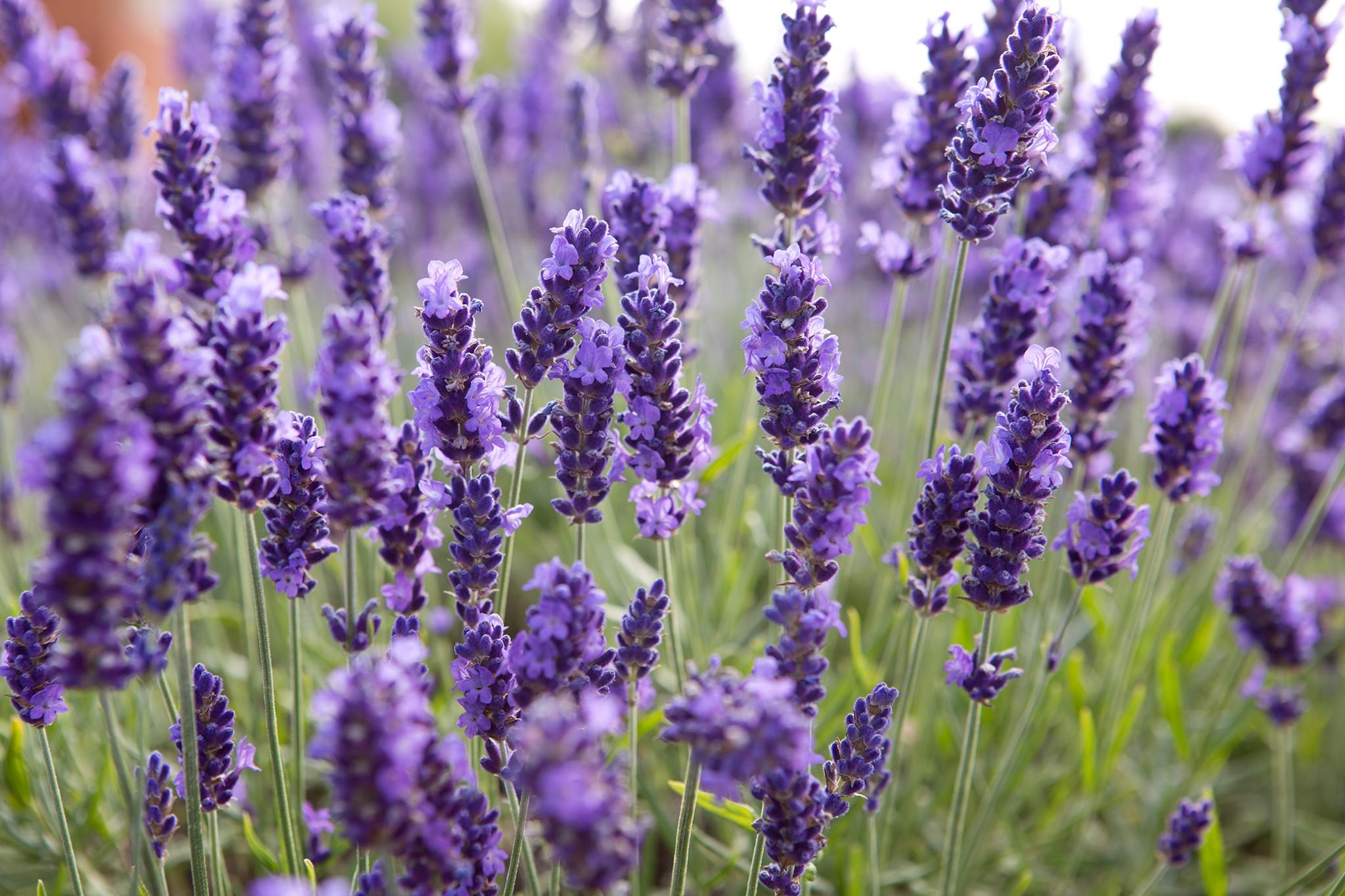 Take Lavender Cuttings