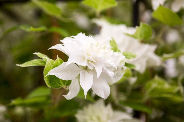 Double, white blooms of clematis 'Maria Sklodowska Curie'